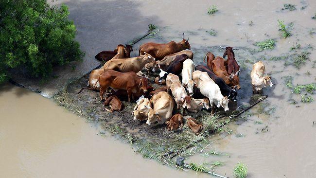Наводнения в Австралии: гибель животных