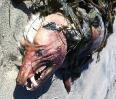 Чупакабра - мистический зверь