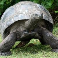 Слоновая черепаха: вот кто не рад знакомству с людьми…