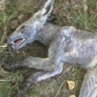 Чупакабра в Украине: хищник атакует или у страха глаза велики?