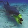 Дельфины на службе ВМС: секретные агенты морских глубин